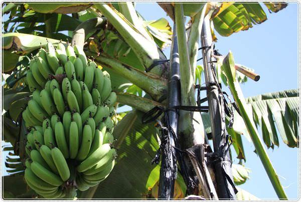 bananaIMG_4213.JPG